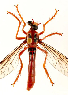 Новую муху-убийцу назвали в честь Дэдпула